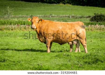 Big cow standing on a field with green grass