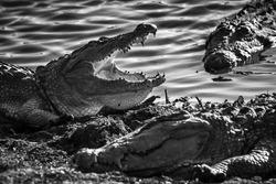 Big croc boys Mugger Crocodiles