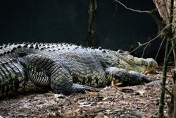 big crocodiles in south Indian forests
