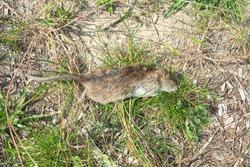 Big dead rat in the roadside probably poisoned