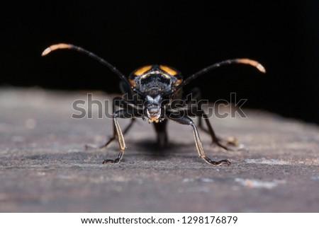 Big death watch beetle close up. Nicrophorus vespillo. Burying beetles or sexton beetles. #1298176879