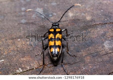 Big death watch beetle is sitting on a tree stump. Nicrophorus vespillo. Burying beetles or sexton beetles. #1298176918