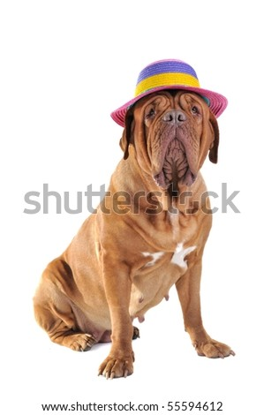 Big Dog is Sitting in a big Colorful Beach Hat