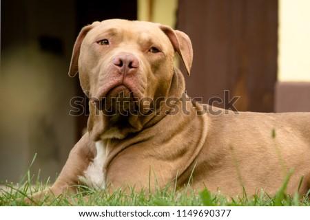 Stock Photo Big dog - Pitbull