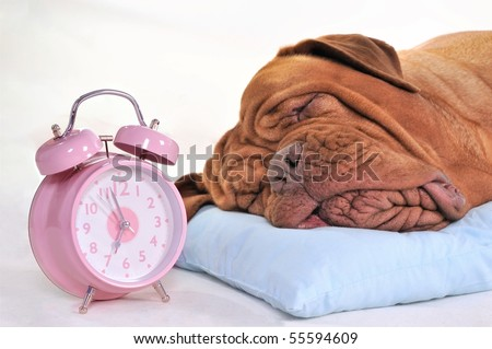 Big Dog Sleeping Sweetly near an Alarm-Clock