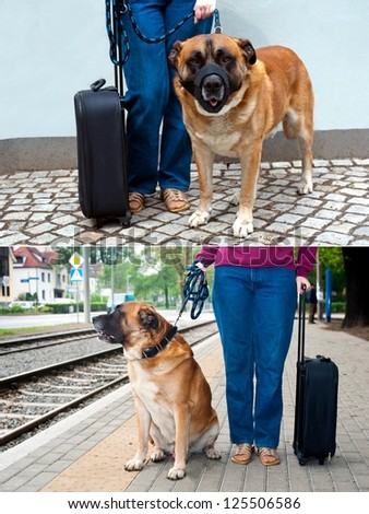 Big dog wearing muzzle at dog-lead standing near female legs and suitcase. Traveling with dog.