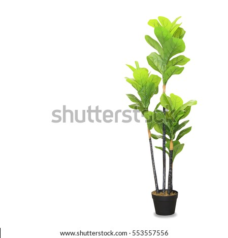 Big dracaena palm in a pot isolated over white #553557556