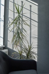 Big dracaena plant used for decoration in contemporarry office interior with window shadows