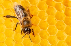 big drone bee (male honey bee) close up on bee frame