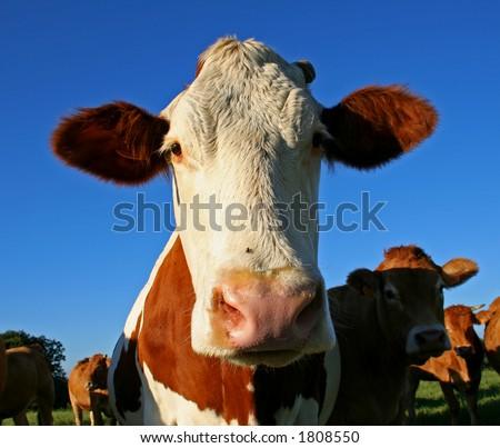 big eared cow ストックフォト ©