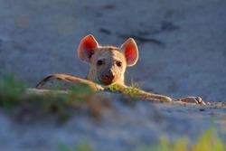 Big ears. Young hyena pup, evening sunset light. Hyena, detail portrait. Spotted hyena, Crocuta crocuta, angry animal near the water hole. Animal pup nature, Okavango, Botswana