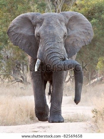 Big elephant approaching along a road tusks trunk - stock photo