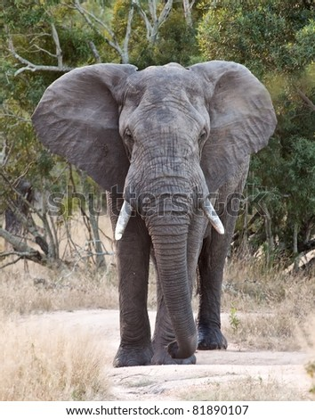 Big elephant approacing along a road tusks trunk