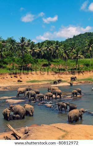 Big elephant herd in the jungles. For more exotic resort images visit http://www.shutterstock.com/sets/65127-sri-lanka.html?rid=714394