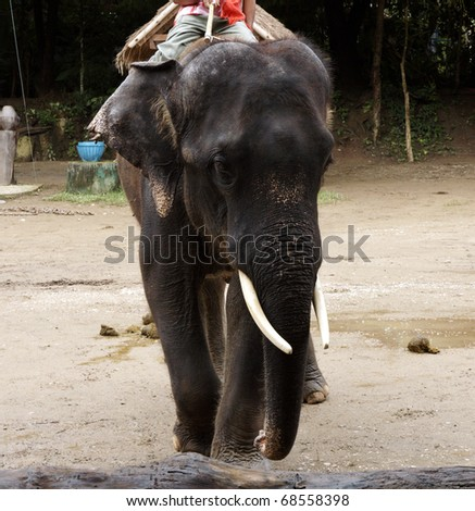 Big elephant in an animal show
