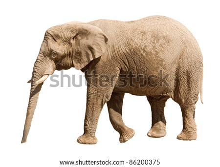 Big elephant isolated on white background