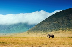 Big elephant walking in the crater of Ngorongoro C.A. in Tanzania, Africa.