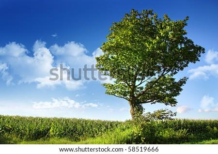 Big elm tree near corn field against blue sky