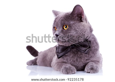 big english cat with a bow tie looking at something at its side on white background