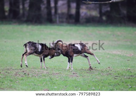 Big european mouflon on the grassland wild animal in the nature habitat, Saxony , Germany