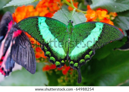 Big exotic green butterflies on flowers
