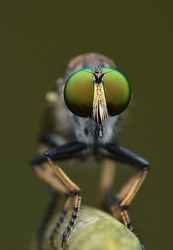 Big Eye Robber Fly