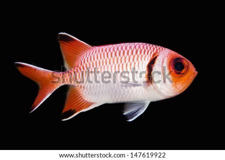 Big eye squirrel fish isolated on black stock photo for Big eye squirrel fish