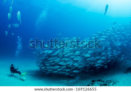 Big eye Trevally Jack, (Caranx sexfasciatus) Forming a school, bait ball or tornado with a diver. Cabo Pulmo National Park, Cousteau once named it The world's aquarium. Baja California Sur,Mexico.  #169126655