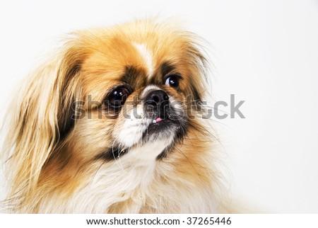 Bulbous Eyed Dog