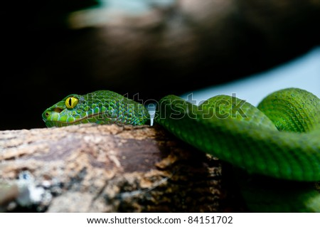 Big-Eyed Pit Viper ,Trimeresurus macrops Green Snake