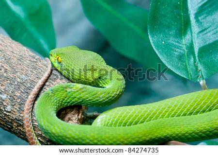 Big-Eyed Pit Viper ,Trimeresurus macrops Green Snake