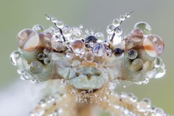 Big eyes of dragonfly with dew drops (blue featherleg - Platycnemis pennipes) female