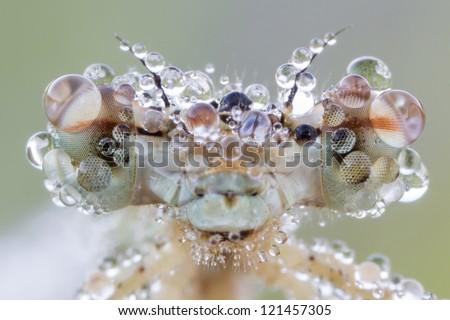 Big eyes of dragonfly with dew drops (blue featherleg - Platycnemis pennipes) female