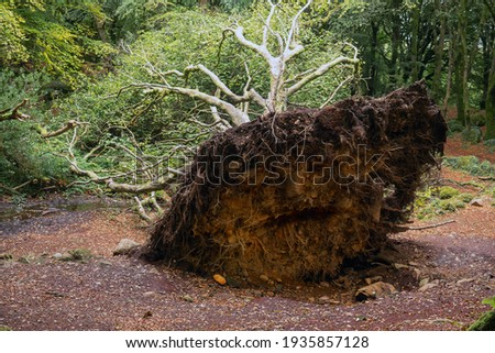 Big fallen tree on the ground after a storm. Barna woods park, Galway city, Ireland. Nobody. Nature scene. Stock fotó ©