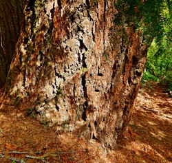 Big Fat Doug - The base of a huge Douglas fir tree in the woods along the Rogue River - southwest of Diamond Lake, OR