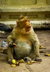 Big fat monkey king eating fruits with mount full loaded of banana and having bananas on its hand. Indian temple monkeys