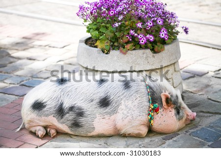 Big fat pig in the town