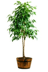 Big ficus tree in wood pot