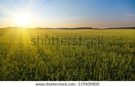 big field of  many green young wheat, on beautifull sunset