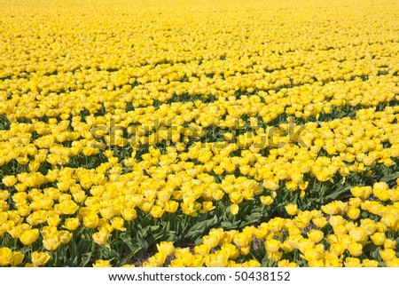 Big field of yellow tulips in the Netherlands