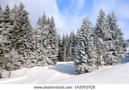 big firs in the snowy mountains