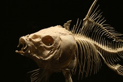 Big fish skeleton