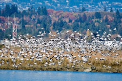 Big flock of Snow geese flying in the air.