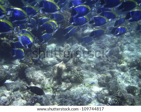 Big flock of vivid fish Acanthurus leucosternon (powder blue tang) in the Maldives