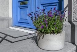 Big flower pot in front of the door. Side view. Bright wooden door with mail slot, copper mailbox. Large flowerpot made of concrete and growing lavender inside. Bright sunny day.