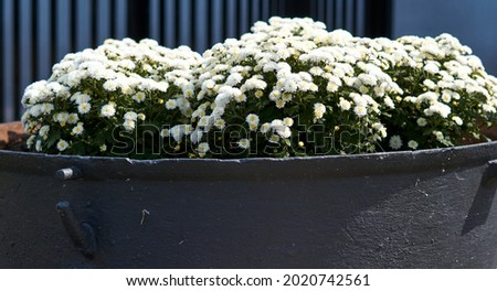 Big flower pot in garden courtyard. Patio outside decoration elements. Big flower pot with small white plant. Street decoration. Plants in the city. High quality photo Stock foto ©
