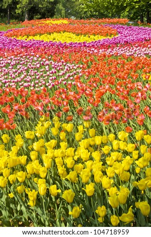 Big flowerbed - field with tulips of red and yellow colours, vertical image.
