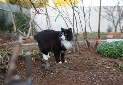 big fluffy black and white cat in the backyard looking around cautiously
