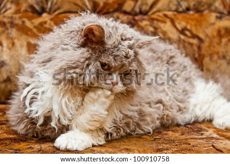 Big fluffy curly hair lazy cat lying on the sofa and licking his paw, looking down. Breed of cat is a Selkirk Rex.