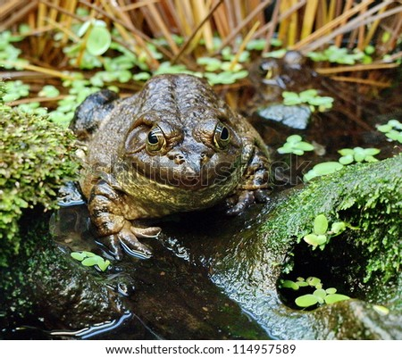 Big frog in it's natural environment